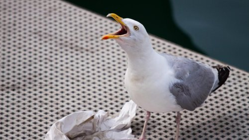 Q&A: Is it time for a cull of the aerial army of Dublin seagulls?