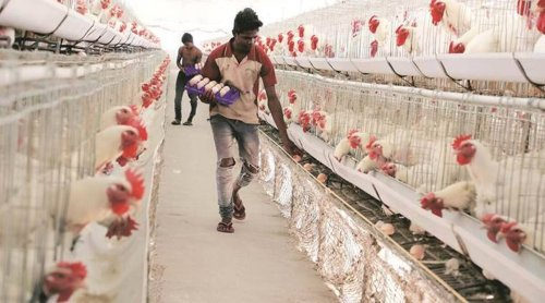 As protein prices skyrocket, poultry industry faces abnormal increase in production cost