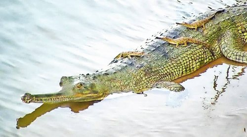 It's a gharial! After 45 yrs of wait, Odisha welcomes first hatchlings