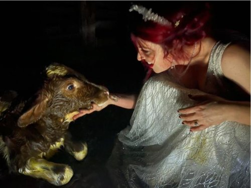 Bride helps deliver a calf during her reception - resplendent in her wedding dress