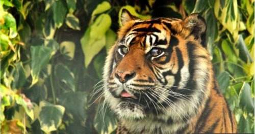 World-first eye operation saves the eye of a Tiger