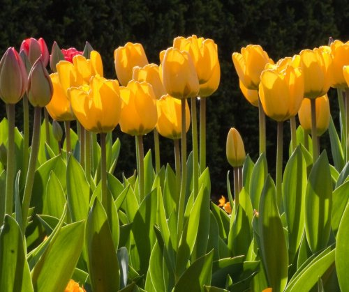 Plant lily of the valley and tulips with companions in the garden this weekend