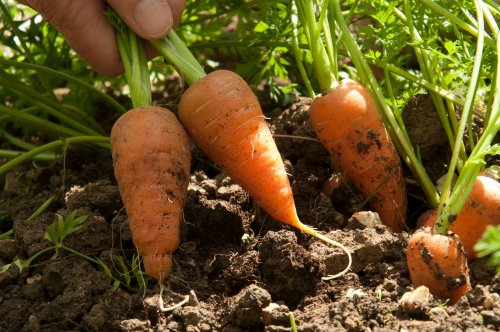 Gardening jobs for the weekend - including cutting houseplants and sowing carrot family crops