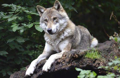 Landkreis Wunsiedel: Junger Wolf spaziert über Feld - Landwirt entdeckt das Tier