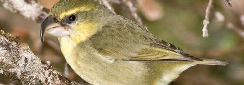 Critically endangered bird found alive in Hawaii