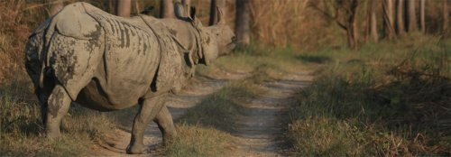 Nepal's rhino population is on the rise