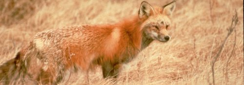 Sierra Nevada red fox to be listed as an endangered species