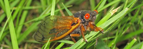Understanding the invasion of Brood X cicadas