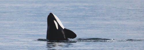 Killer whale stranded in Alaska gets rescued