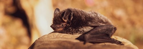 Save bats from becoming extinct
