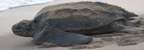 Leatherback sea turtles are disappearing from the West Coast