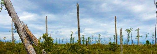 """Sea level rise creates """"ghost forests"""" along the Atlantic coast"""