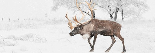 Researchers and Indigenous groups collaborate to save caribou