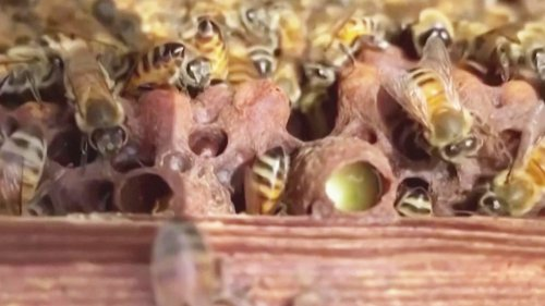 How Bees Can Be Trained to Sniff Out COVID-19