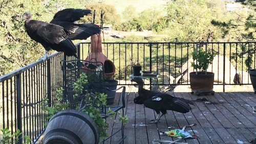 Less Than 200 Wild California Condors Exist in the State. And 10% Have Gathered to Destroy This Woman's House.