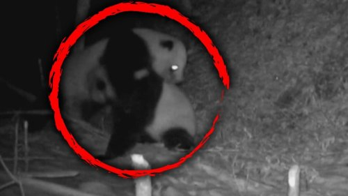 Search Is on for Giant Pandas Captured on Camera Engaged in Brawl That Lasted for More Than 17 Minutes