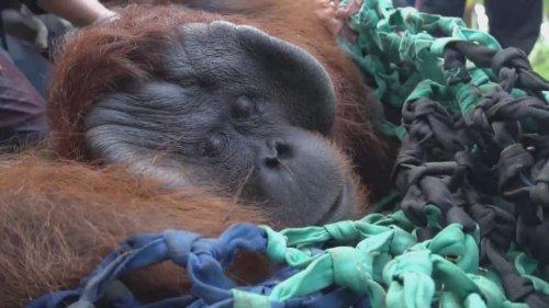 Conservationists Free Jala the Orangutan After Nursing Him to Health