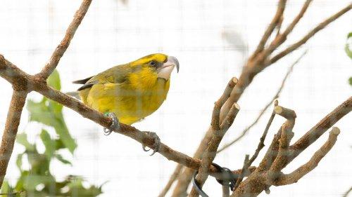 Rare Bird Missing for 605 Days Emerges on Hawaiian Volcano
