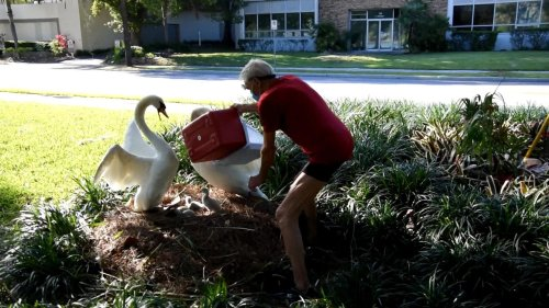 Man Steals Two Baby Swans From Nest as Parents Tried to Save Them