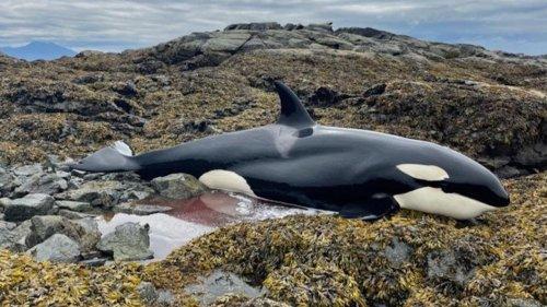 Stranded Killer Whale Rescued in Alaska