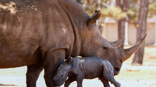 Newly Discovered Species of Giant Rhino Is Largest Land Mammal Ever