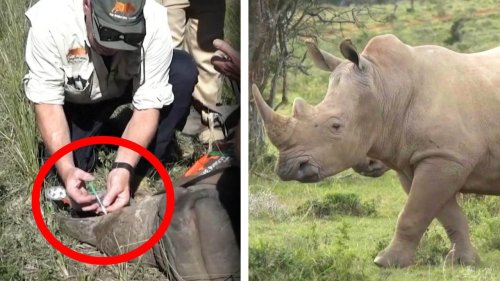 'Radioactive' Rhino Horns Are Latest Tool to Stop Poachers