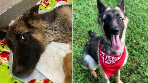 German Shepherd Puppy Recovers From Near-Death Experience