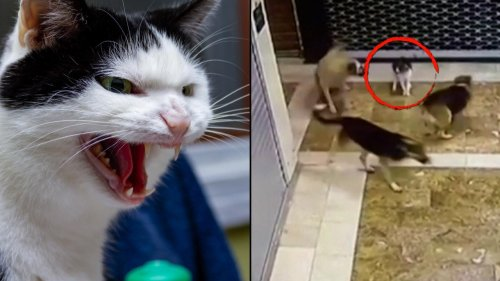 Mother Cat in Turkey Chases Off Pack of Dogs Trying to Attack Its Kitten
