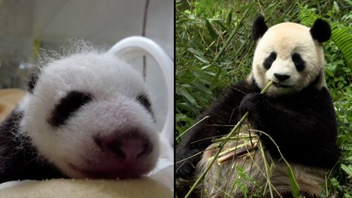 China's Giant Panda Baby Boom Is Both Adorable and Encouraging