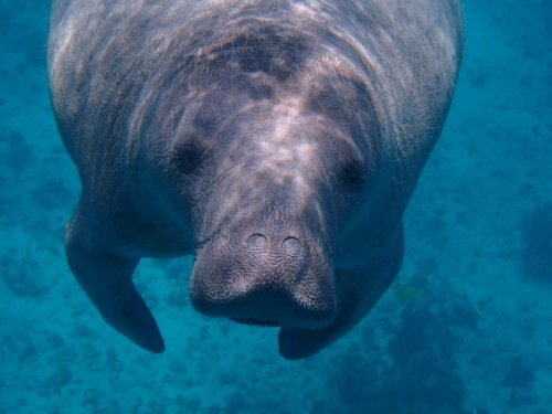 Florida's Manatees Struggle With Ongoing Famine