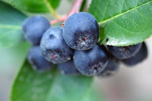 The Aronia Berry Is Here to Challenge Blueberries for the Superfruit Throne