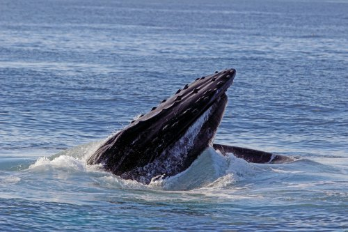 Is the Story About the Whale Almost Swallowing the Lobsterman Fake?