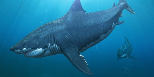 Prehistoric megalodon sharks might have been even bigger than previously thought. The chance discovery was made thanks to high schoolers.