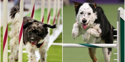 16 incredible underdog stories from the Westminster Dog Show