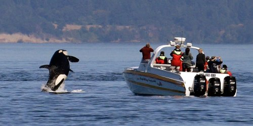 A pod of killer whales is accused of 'orchestrated' attacks on boats, terrifying the sailors and baffling scientists