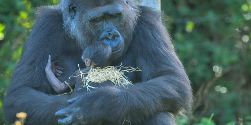 Gorilla moms carry their dead babies around with them, which could be proof that they grieve, scientists say