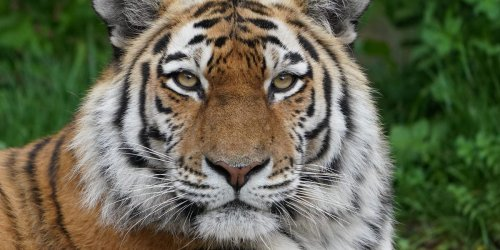 A zookeeper was killed by a 675-pound Siberian tiger after it scaled a 12-foot high electric fence that was switched off
