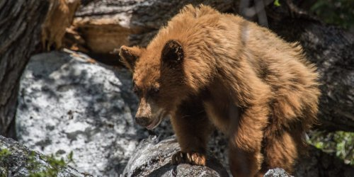A mama bear stood mournfully over a baby cub that was hit by a car in Yosemite National Park, one of 400 bears hit by cars in the past 26 years