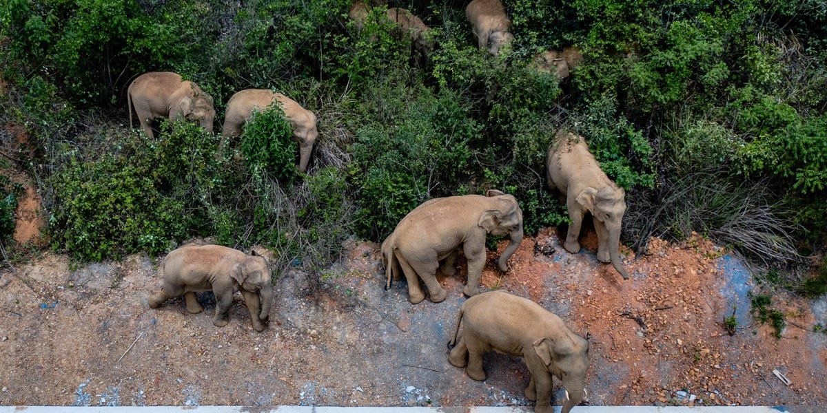 PHOTOS: Elephant Herd Leaves Habitat, Travels Across China