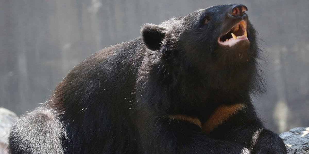 A bear spotted at the Tokyo Olympic softball field is on the loose