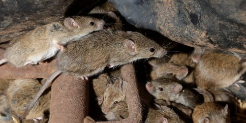 Australia's mouse plague continues as a horde of mice infest a rural prison, forcing inmates and staff to evacuate