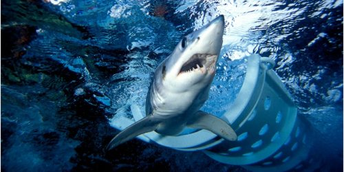 Researchers released a mako shark into the ocean, but it made a U-turn to take bites out of their boat