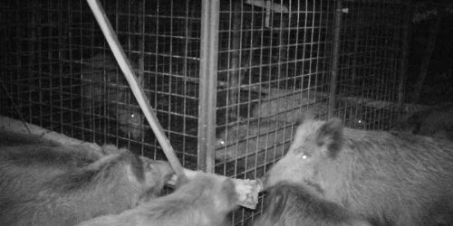 Amazing photos show a family of wild boars organizing a cage breakout of 2 piglets, demonstrating high levels of intelligence and empathy