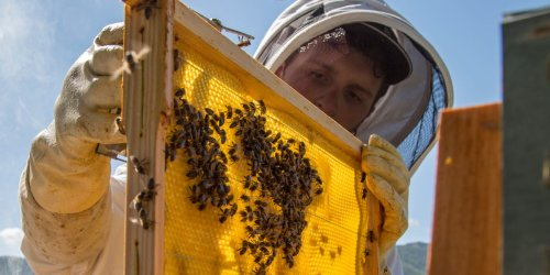 An Argentinian company is creating cold-resistant 'super bees' to fight a drastic population decline which threatens global farming