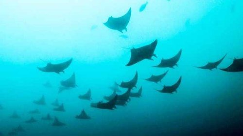 A diver's magical find shows 'cleaning station' of highly endangered devil rays in KZN