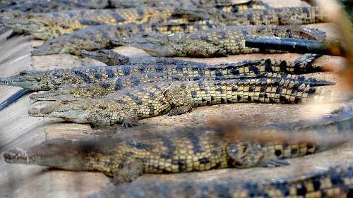 More crocodiles euthanised as search for escaped reptiles trudges along