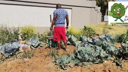 I am not afraid, says cabbage man as he prepares to take veg garden fight to court