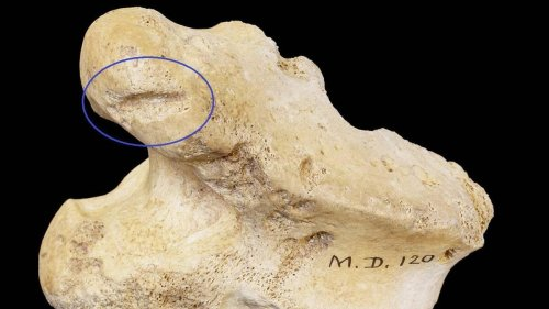 Reindeer bone found in north Cork to alter understanding of Irish human history