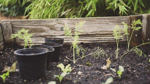 Какие растения нельзя сажать рядом на огороде? Шпаргалка для дачников