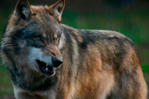 Wolfsangriff in Dresden: Mann schlägt mit Besen auf Wolf ein